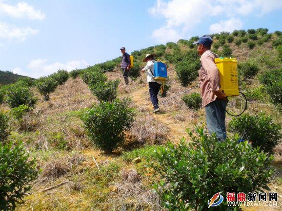 村民在给黄栀子喷洒药水除虫害.jpg