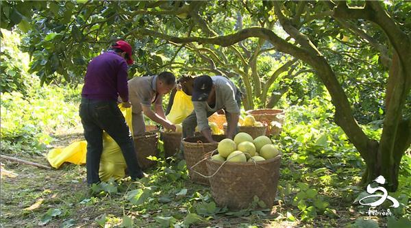 前岐四季柚全面采摘了!柚子皮的功效辣么多,你造吗?