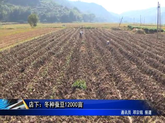 店下:冬种蚕豆12000亩