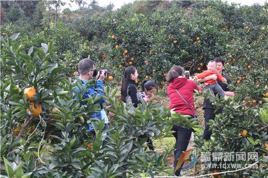 白琳:脐橙飘香 游客纷至采摘忙