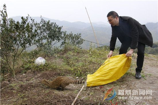 国家二级重点保护动物灵猫获救并放归大自然