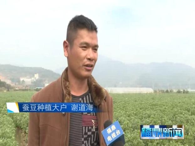 福鼎:万亩蚕豆进入开花季 长势良好