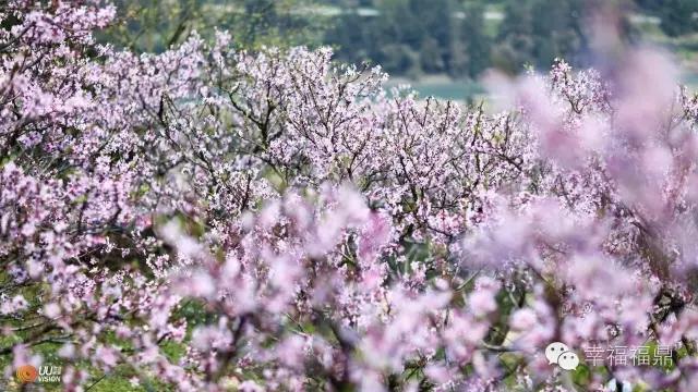 如果福鼎是一朵花,你觉得是什么花?