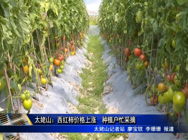 太姥山:西红柿价格上涨 种植户忙采摘