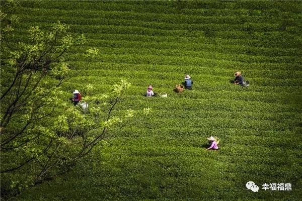 行摄茶旅之踏青解密生态白茶——磻溪站