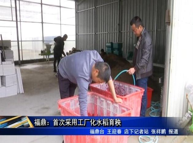 福鼎:首次采用工厂化水稻育秧