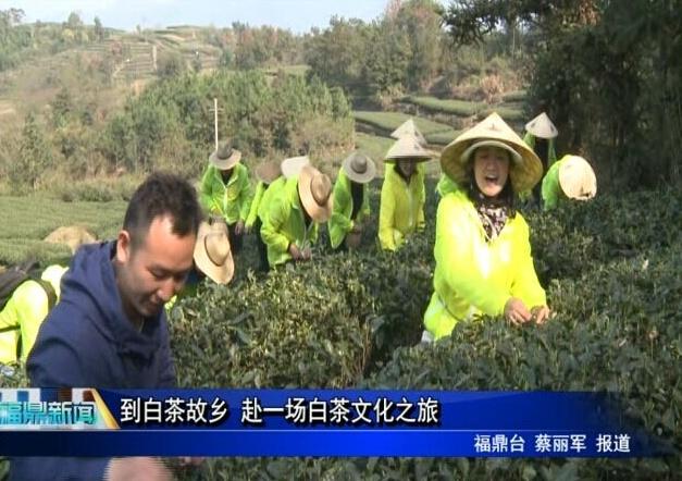 到白茶故乡 赴一场白茶文化之旅