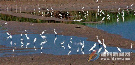 数百白鹭聚集点头浅滩觅食