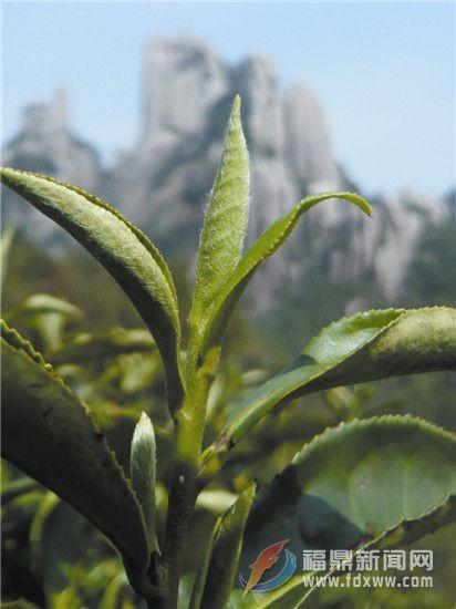 福鼎文化遗产的海丝印记之十四——太姥岩茶