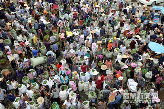 福鼎:茶产业持续发展  产业优势日益凸显