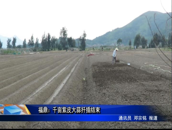 福鼎:千亩紫皮大蒜扦插结束