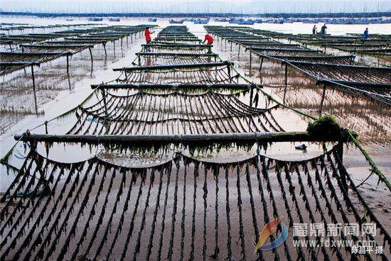 福鼎文化遗产的海丝印记之二十一——紫菜