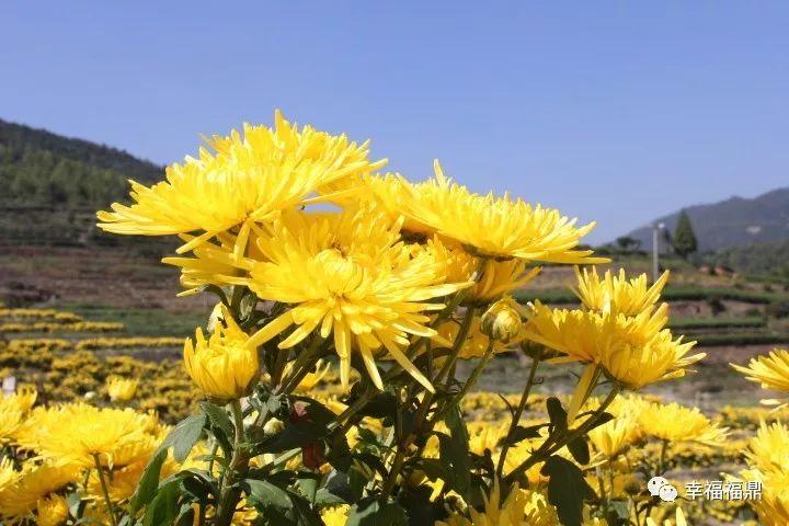 太姥山镇有三十多亩黄灿灿的菊花等你来赏!