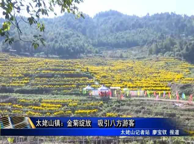 太姥山镇:金菊绽放 吸引八方游客