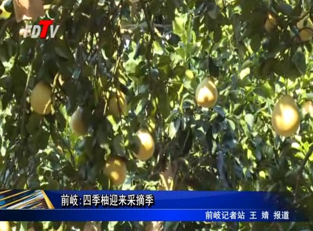 前岐:四季柚迎来采摘季