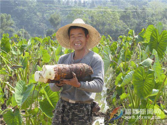 小芋头大财富———福鼎槟榔芋产业发展见闻