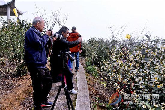 """茶乡点头:""""福鼎白茶""""茶花盛开迎游客"""
