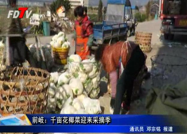 前岐:千亩花椰菜迎来采摘季
