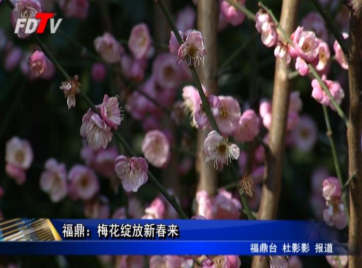 福鼎:梅花绽放新春来