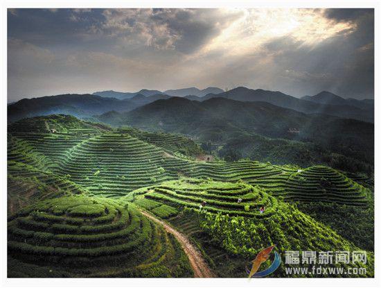 今年我市继续推进茶业供给侧改革