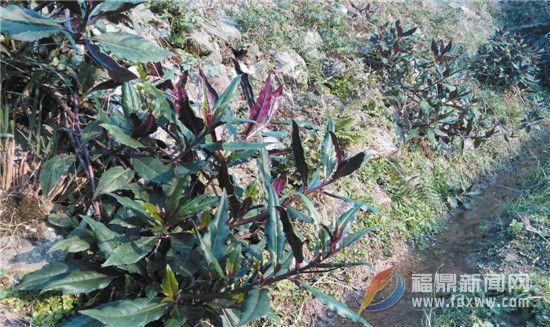 福鼎文化遗产的海丝印记之三十四——菜是家园香