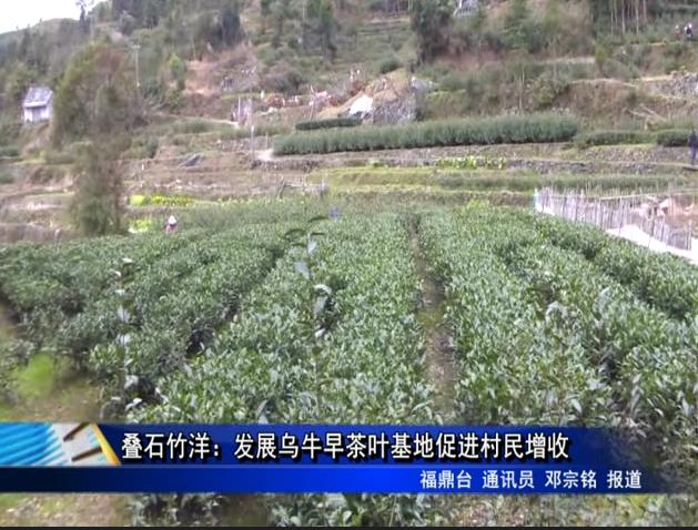 叠石竹洋:发展乌牛早茶叶基地促进村民增收