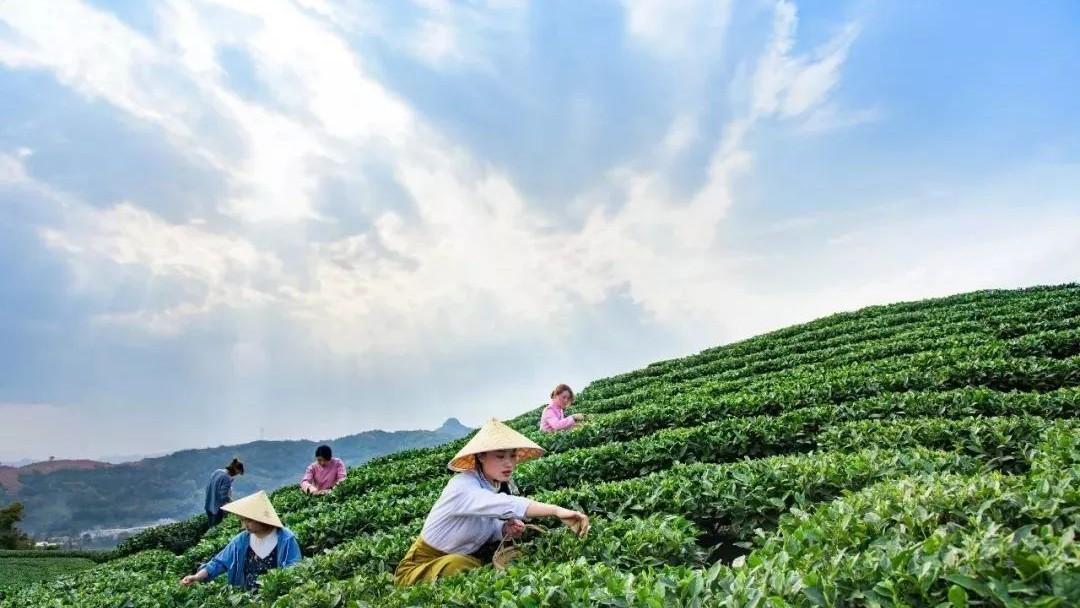 恰逢白茶采摘季,春茶市场你赶上了没?
