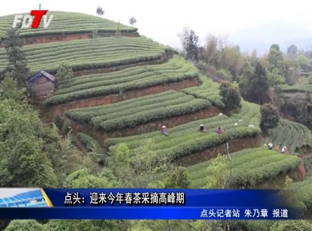 点头:迎来今年春茶采摘高峰期