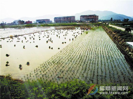 福鼎文化遗产的海丝印记之三十九——耕种水田