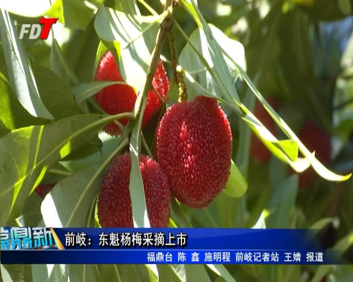 前岐:东魁杨梅采摘上市