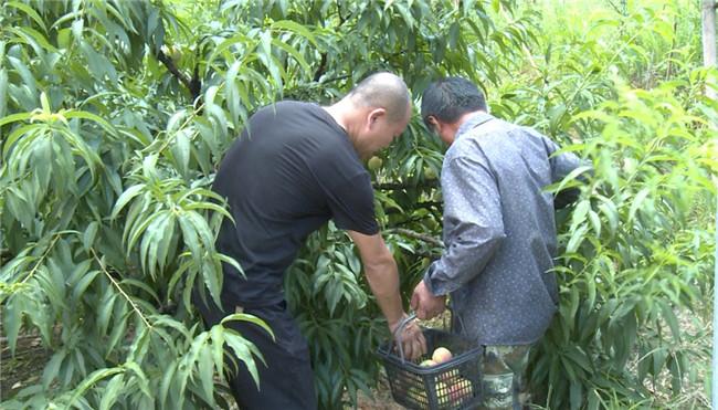 前岐:紧急抢收水蜜桃 减少台风损失