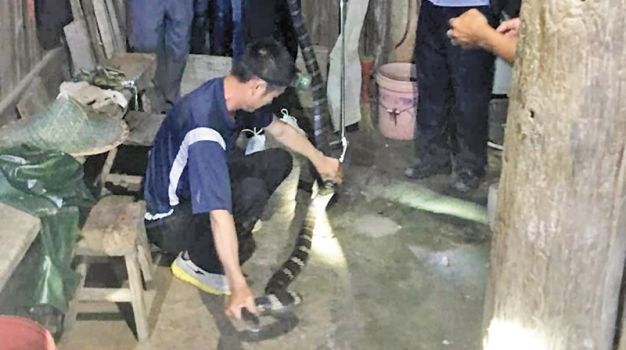 剧毒眼镜王蛇闯农家 捕蛇师搜到二楼拿下