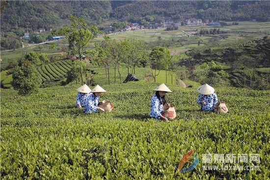 国家级茶树良种———福鼎大毫茶
