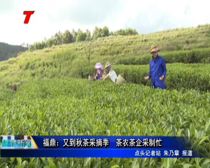 福鼎: 又到秋茶采摘季   茶农茶企采制忙