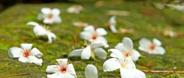 油桐花开满山白,你怎能错过这样的市树~
