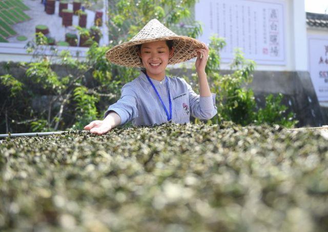 福建福鼎:制茶能手比拼技艺