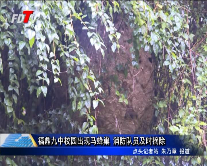福鼎九中校园出现马蜂巢 消防队员及时摘除