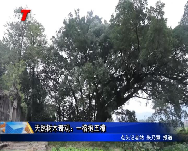 自然树木异景:一榕抱五樟