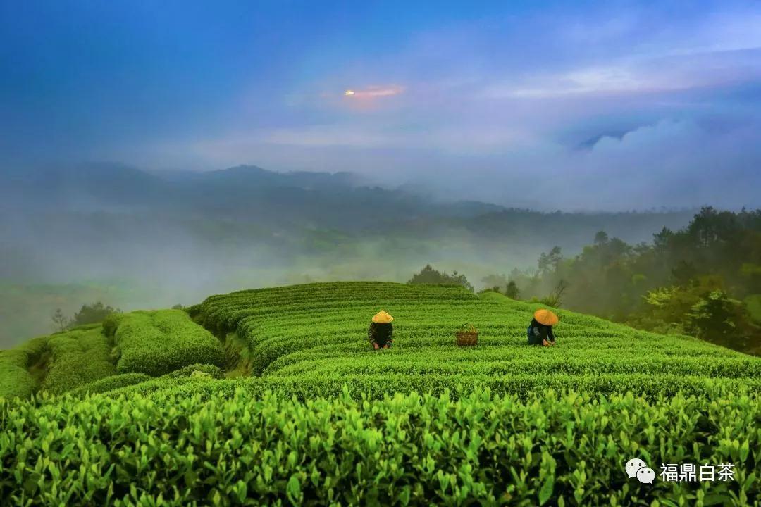 提高白茶质量的措施和建议