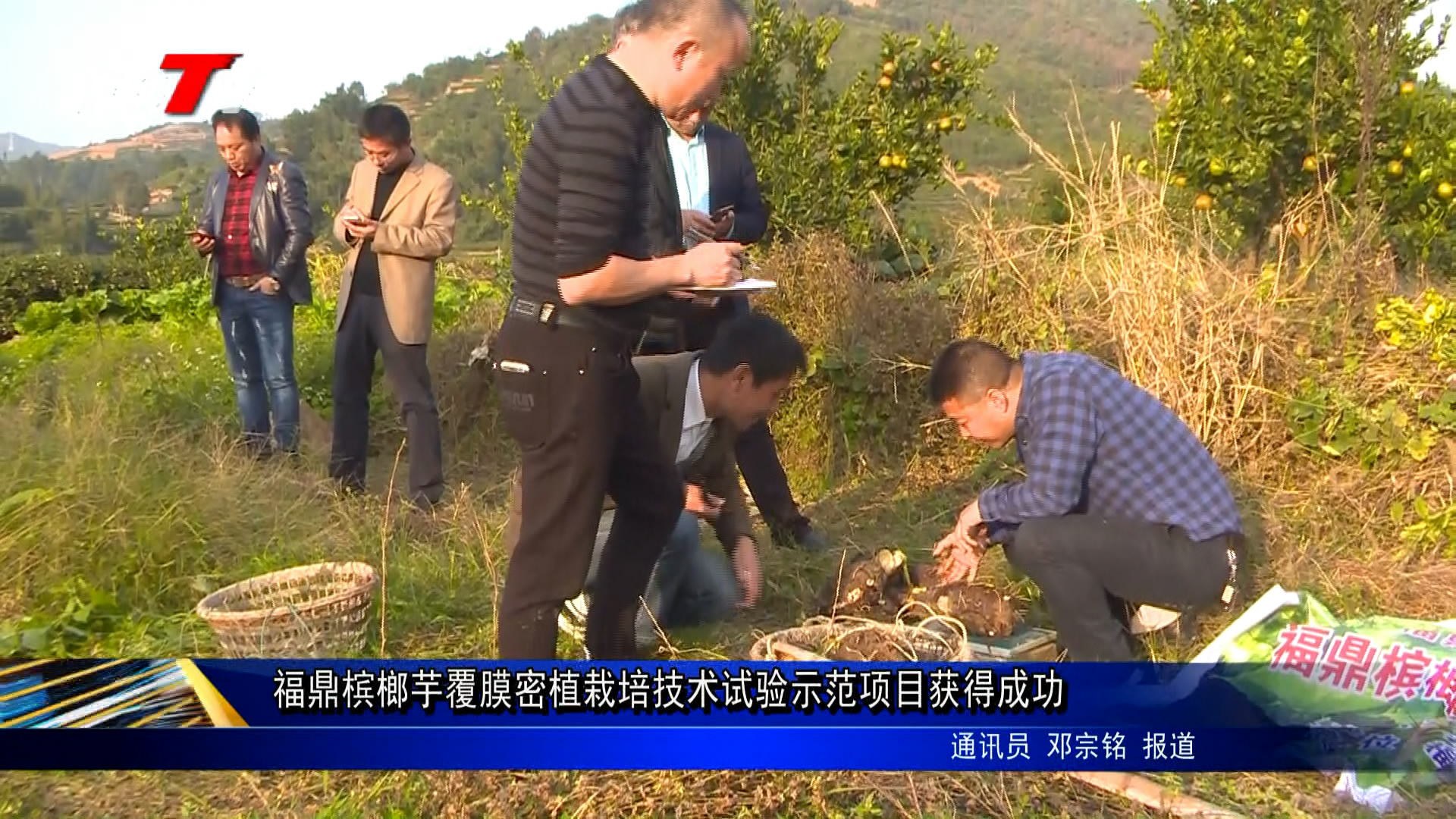 福鼎槟榔芋覆膜密植种植技能实验树模项目得到乐成