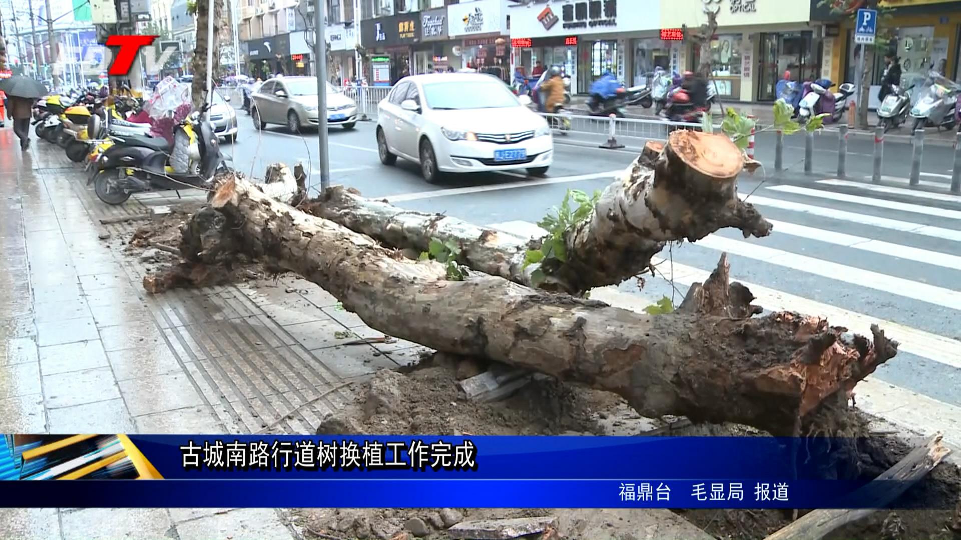 古城南路行道树换植事情完成