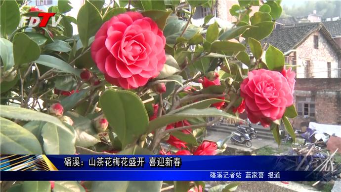 磻溪:山茶花梅花盛开 喜迎新春