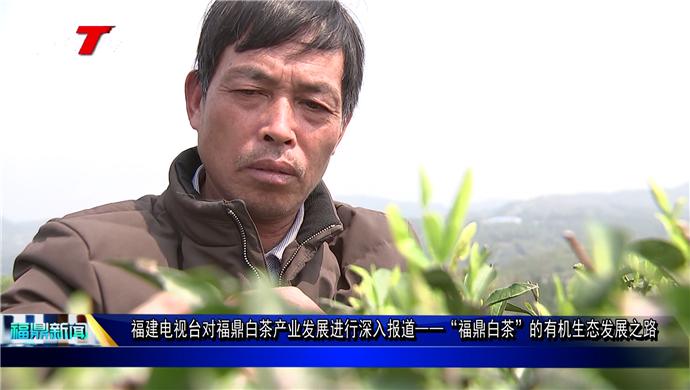 """福建电视台对福鼎白茶产业发展进行深入报道 ——""""福鼎白茶""""的有机生态发展之路"""