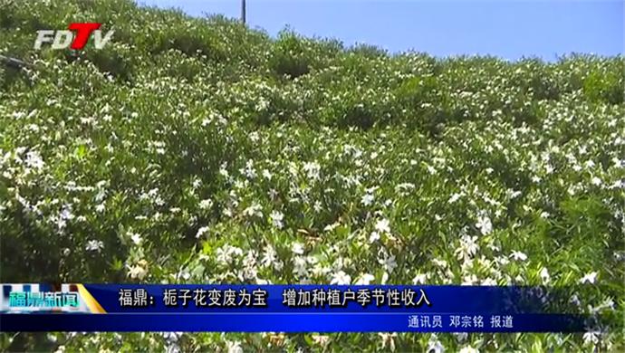 福鼎:栀子花变废为宝  增加种植户季节性收入