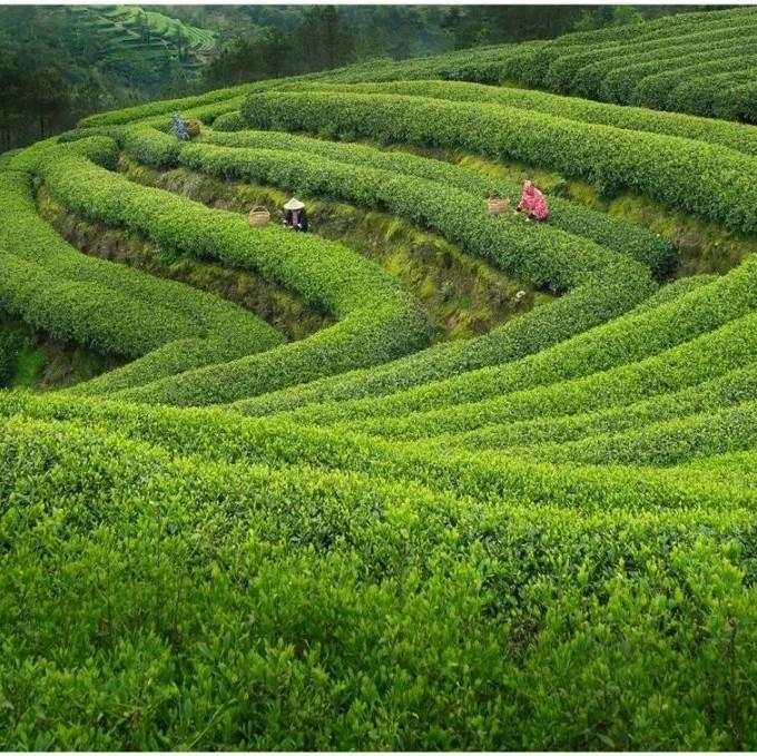 """福鼎白茶最美的样子,通过这条微信推送再次""""绽放"""""""