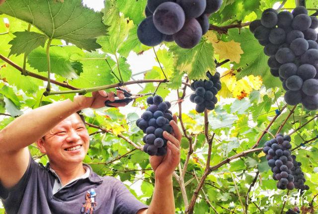 福安市溪柄镇:发展早熟葡萄 促进农民增收