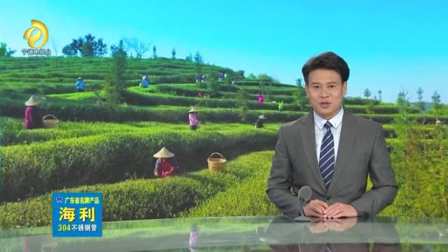 福鼎白茶:一片茶叶成就一个产业