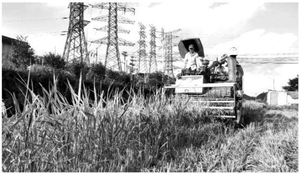 福鼎店下镇长期致力于水稻优良品质实验推广