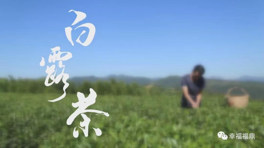 【视野】白露茶
