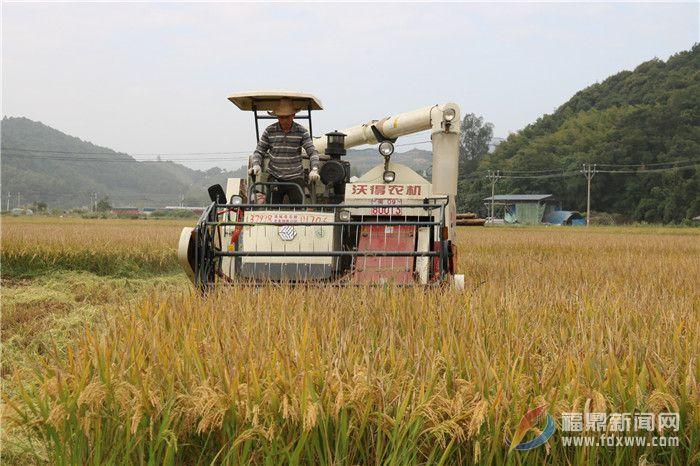 店下:万亩水稻喜丰收